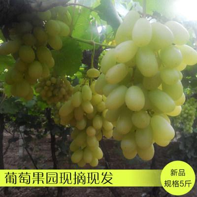 【预售】怀来白马奶葡萄 青提葡萄马奶提 新鲜水果5斤(仅支持自提,预计提货时间:10月15日)